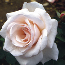 Rose Plant - Belmonte