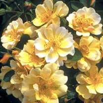 Rose Plant - Happy Days