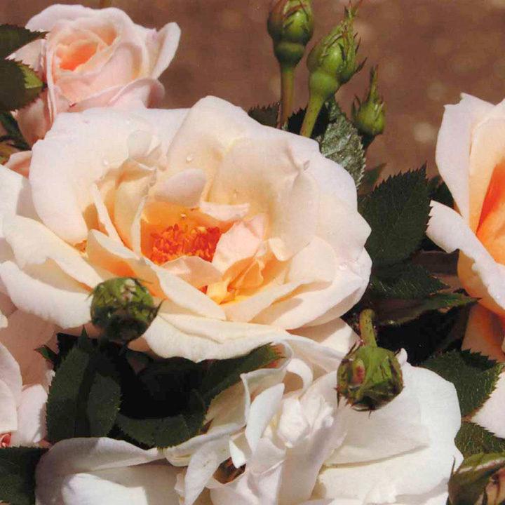 Rose Plant - High Sheriff