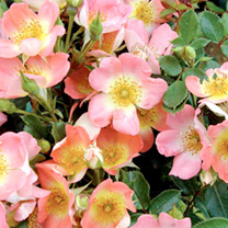 Rose Plant - Simply Sally