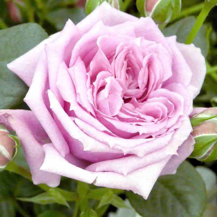 Rose Plant - Janeen