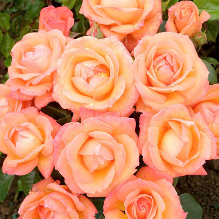 Rose Plant - Lady Marmalade