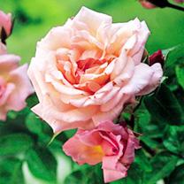 Rose Plant - Compassion