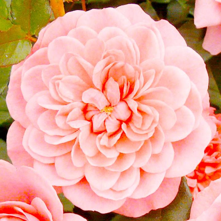 Rose Plant - Letchworth Centenary