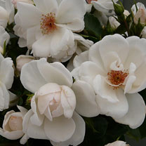 Rose Plant - Starlight Symphony