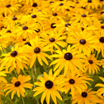 Rudbeckia Plants - Goldstrum