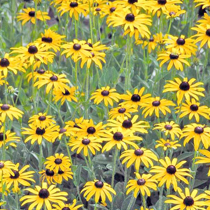 Rudbeckia Seeds - Golden Compass