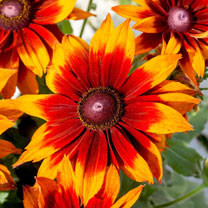 Rudbeckia Plant - Laughing SmileyZ