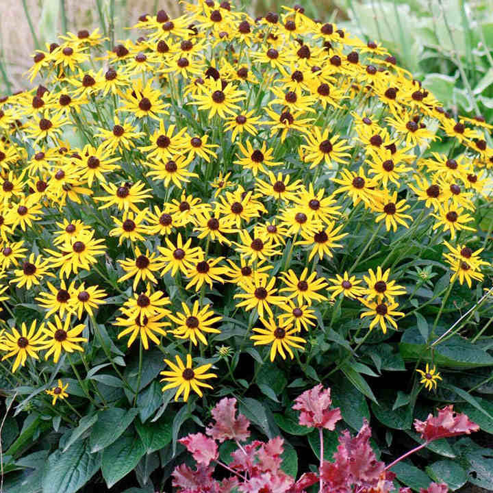 Rudbeckia plant little goldstar view all perennial plants rudbeckia plant little goldstar mightylinksfo