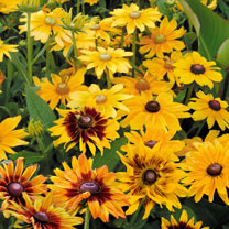 Prairie Seeds - Rudbeckia Mix