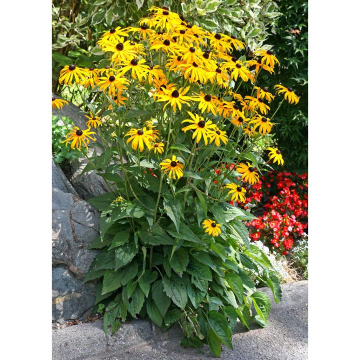 Rudbeckia Plant - Goldsturm