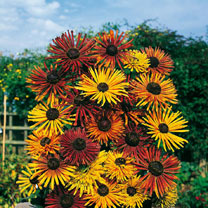 Click to view product details and reviews for Rudbeckia Seeds Chim Chiminee.