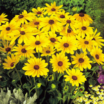Rudbeckia Seeds - Indian Summer