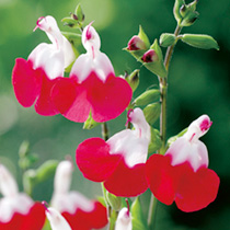 Salvia Hardy Plant - Hot Lips