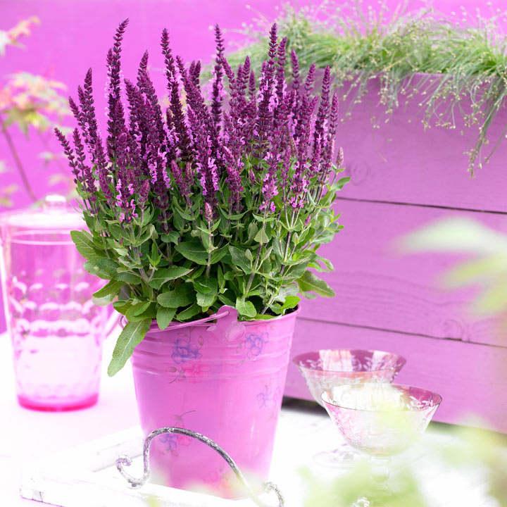 Salvia Sensation Plant - Bright Rose