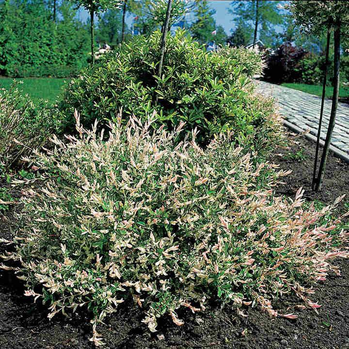 Salix integra Plant - Hakuro Nishiki