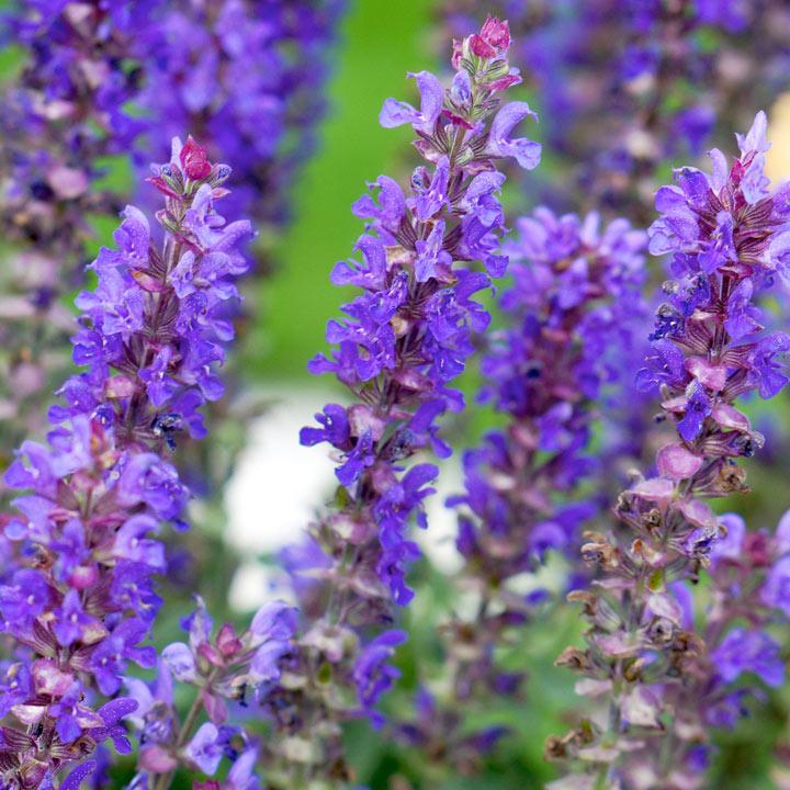 Salvia Plant - Blue Bouquetta