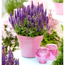 Salvia Plants - Blue Bouquetta