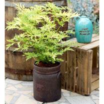 Sambucus nigra Plant - Golden Tower