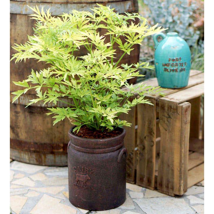Sambucus nigra Plant - Golden Tower®