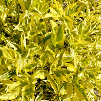 Sambucus nigra Plant - Madonna