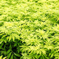 Sambucus racemosa Plant - Sutherland Gold