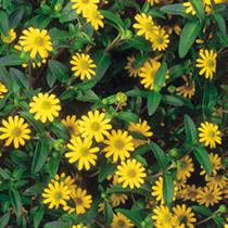 Sanvitalia Plants - Aztec Gold