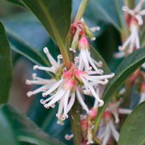 Sarcococca Plant - Winter Gem