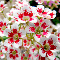 Saxifraga Plants - Southside Seedling