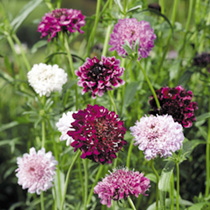 Can be sown in September for flowers April-June the following year. Flowers in dense domed heads on long wiry stems. Simple, very attractive border pl