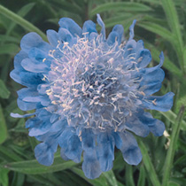 Click to view product details and reviews for Scabious Japonica Seeds Ritz Blue.