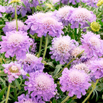 Scabious Plants - Blue Note