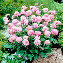 Lovely pink flowers shaped almost like pin cushions with a frilly edge of the same colour are produced in profusion above a small and compact rosette