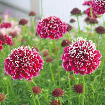 Stunning coloured variety of deep maroon/purple and black coloured pincushion-shaped flowers with speckles of white on the edge of many of the tiny pe