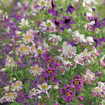 Schizanthus Pinnatus Seeds Angel Wings