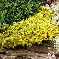 Sedum acre Plant - Aureum