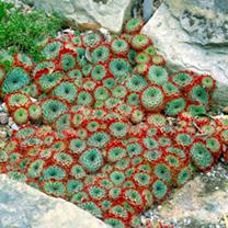 Sempervivum calcareum Plant