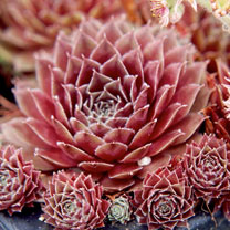 Sempervivum tectorum Plant - Rubin