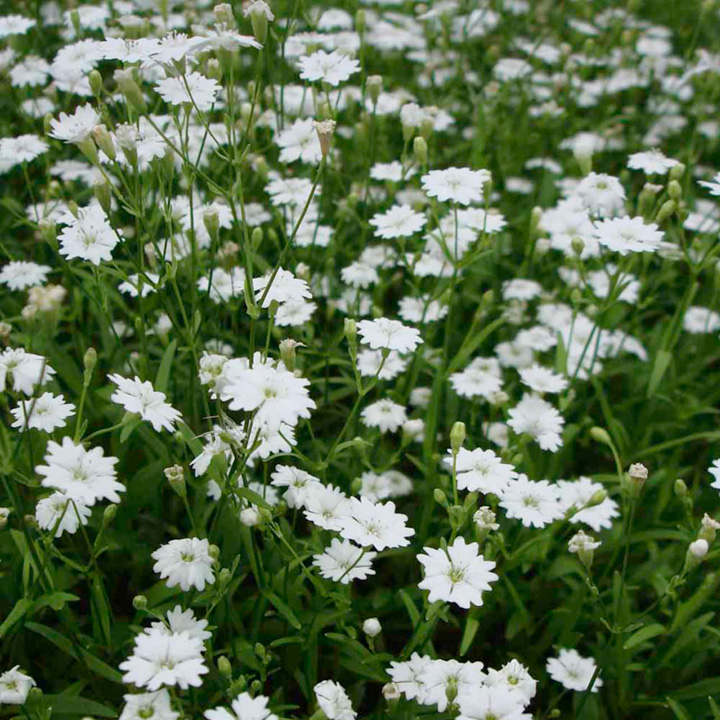 Silene Plants - Starry Dreams