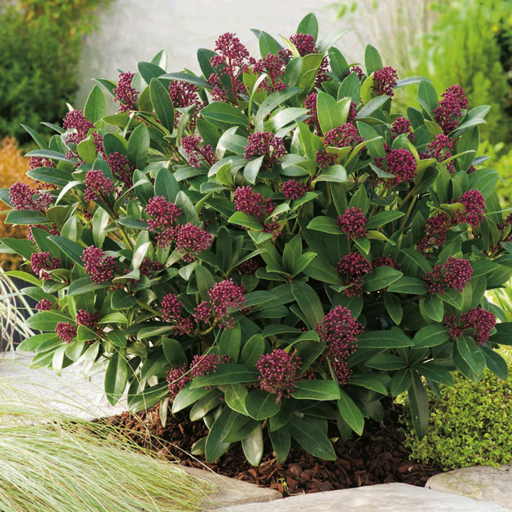 Skimmia Japonica Rubella Trees Shrubs Hedging Gardening