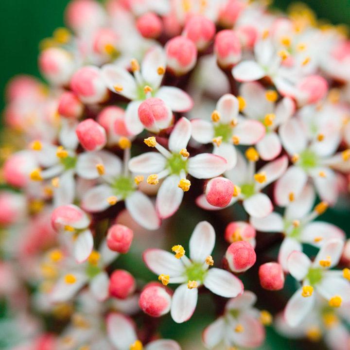 Skimmia Plant - Rubella
