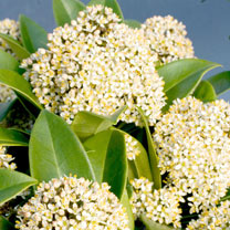 Skimmia Plant - Fragrant Cloud