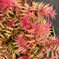 Sorbaria sorbifolia Plant - Sem®