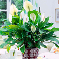 The beautiful Peace Lily, otherwise known as 'Spathiphyllunm', bears glossy green leaves and pure white, sail-like flowers. This easy-to-care-for hous