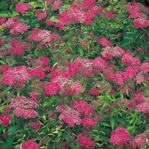 Spiraea japonica Plant - Anthony Waterer