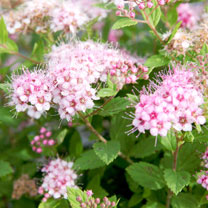 Spiraea japonica Plant -  'Little Princess'