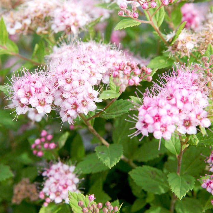 Spiraea japonica Plant -  'Little Princess'