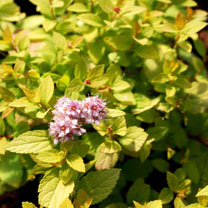 Spiraea japonica Plant - Sundrop First Editions