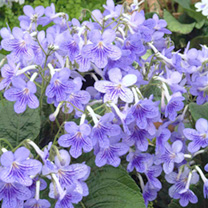 Sky blue upper lobes, lower lobes having a tracery of purple overlying the blue. Masses of tightly clustered flowers above smallish leaves forming a n