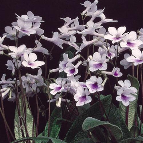 Streptocarpus Plant - Crystal Ice